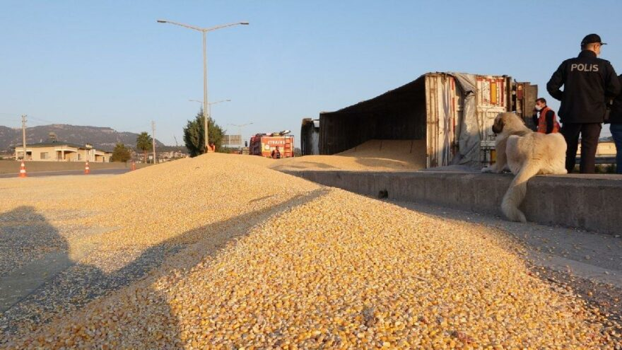TIR devrildi, tonlarca mısır yola saçıldı